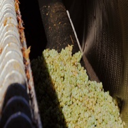 White grapes are poured into the press. Then, to extrude the juice from the Stock Footage
