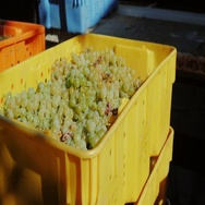 Colored boxes with grapes outdoors Stock Footage