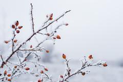 Red berries under snow Stock Photos