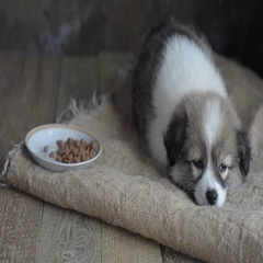 Sad homeless puppy falls asleep next to a plate of feed, on a piece of burlap Stock Footage