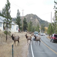 Rocky Mountain Elk Crossing the Road Stock Footage