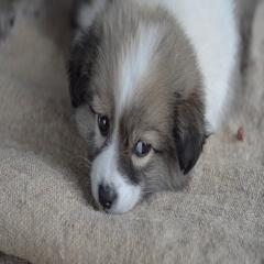 Sad homeless puppy falls asleep on a piece of burlap. Close-up Stock Footage