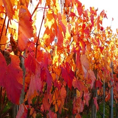 Panoramic view at carst vineyard in autumn colors at sunset Stock Footage