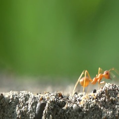 Red ants walking around in the sun Stock Footage