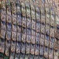 Crocodile skin closeup Stock Footage
