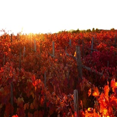 View from above at carst vineyard in autumn colors at sunset Stock Footage