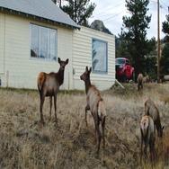 Herd of Elk by the Road Stock Footage