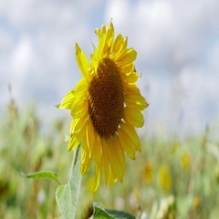 Closeup view of sunflower in the wind Stock Footage