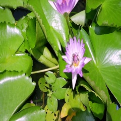 Purple water lily and bee in the pond Stock Footage