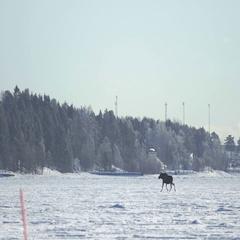 Moose Elk Calf Running on Ice in Sweden Stock Footage