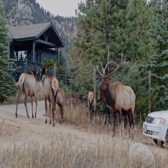 Bull Elk Rutting on a road with cars Stock Footage
