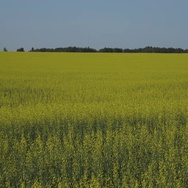 Vibrant yellow open Canola field blowing in wind with blue sky in Manitoba Stock Footage