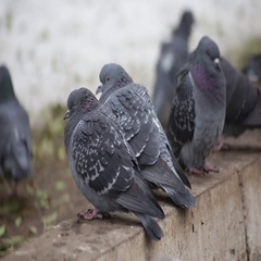 Pigeons sit on the ground and bask Stock Footage