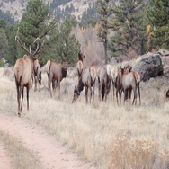 Elk Gang or Herd Stock Footage
