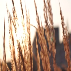 Close up grass shadow bending in the wind in front of bright sunset at golden Stock Footage