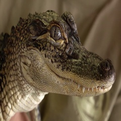 Extreme Close Up of Young American Alligator in Louisiana Stock Footage