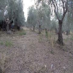 Walking in an olive grove Stock Footage