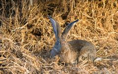 Funny bunny with big ears sits in hay Stock Photos