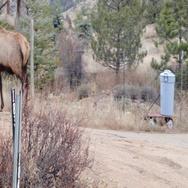 Following a Bull Elk Walking in Estes Park Colorado Stock Footage