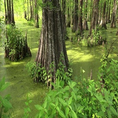 Louisiana Bayou and Bald Cypress Trees Stock Footage