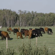 Cattle gazing behind wire fence on summer day in Manitoba Stock Footage