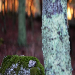 Rock and Tree with moss during an autumn sunset Stock Footage