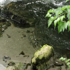 Trout swimming in a shallow river Stock Footage