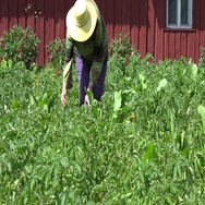 Woman gather parasite colorado bug potato plant in garden. 4K Stock Footage