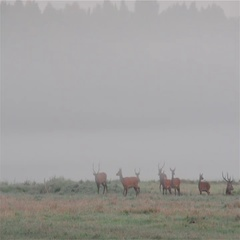 Red deer. Male chases females. Rutting season. Stock Footage