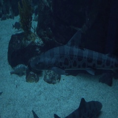 Leopard Shark in Aquarium With Child Silhouette Stock Footage
