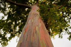 Trunk of a rainbow eucalyptus tree. Stock Photos