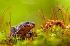 Male Alpine Newt Walking through a Field of Moss Stock Photos