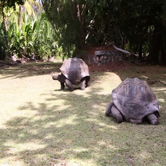 Giant tortoises at Curieuse Island, Seychelles Stock Footage