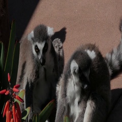 4K LEMUR FRIENDS HANGING OUT BY FOWER Stock Footage