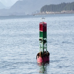 Seals sleeping on buoy in the ocean while slowly passing by Stock Footage