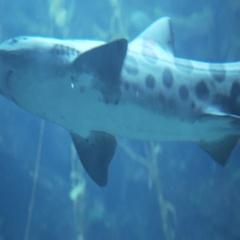 Leopard Sharks Swimming in Public Aquarium Stock Footage