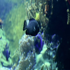 Aquarium of Genoa, Italy September 20, 2016: Sohal surgeonfish swimming Stock Footage