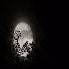 Full moon behind almost naked tree branches and twigs Stock Footage