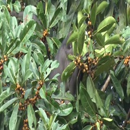 Sooty Mangabey group feeding on fruits in tree in rainforest in the morning Stock Footage