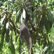 Sooty Mangabey feeding on fruits in tree in rainforest in the morning Stock Footage