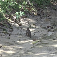 Striped Ground Squirrel move on rainforest floor feeding on fruit Stock Footage