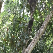 Sooty Mangabey feeding on fruits in tree in rainforest in the morning zooming Stock Footage
