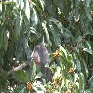 Sooty Mangabey feeding on fruits in tree in rainforest in the morning close up Stock Footage