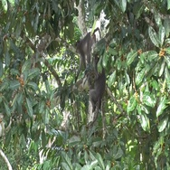 Sooty Mangabey group move and sit in tree looking around in rainforest Stock Footage