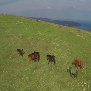 AERIAL fly, Wild Horses Herd Running On green Meadow. Flight Over Mountains. Stock Footage