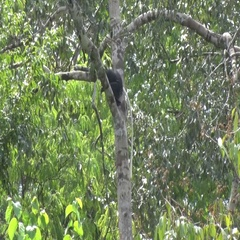 Western Pied Colobus sits in rainforest tree looking around and jump away Stock Footage