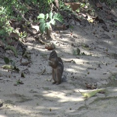 Striped Ground Squirrel sitting on rainforest floor feeding on fruit Stock Footage