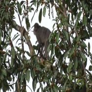 Sooty Mangabey move in tree and feed on fruit and jumps away in rainforest Stock Footage