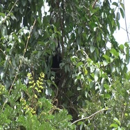 Western Pied Colobus sits in rainforest tree feeding hidden behind leaves Stock Footage
