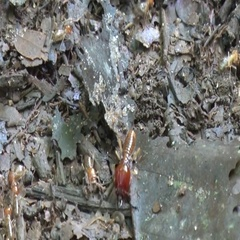 Termite soldier walk on rainforest floor protecting colony Stock Footage